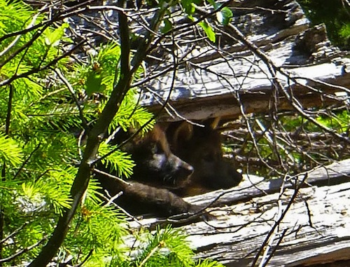 Oregon Wolf Puppies In log pc USFWS