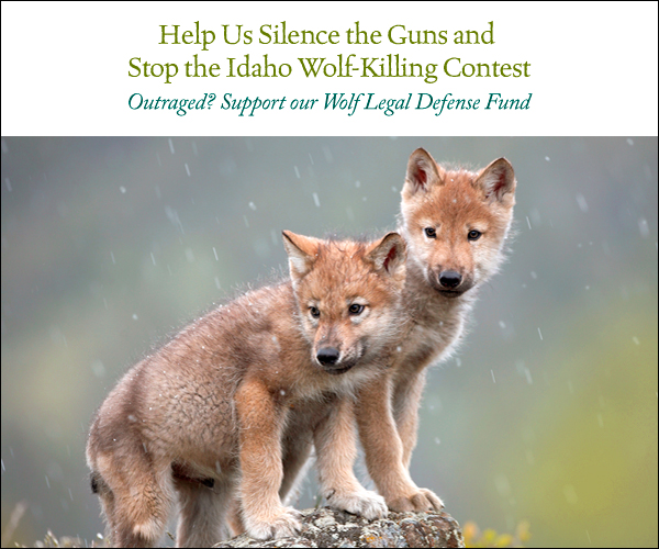 Help Us Silence the Guns and Stop the Idaho Wolf-Killing Con