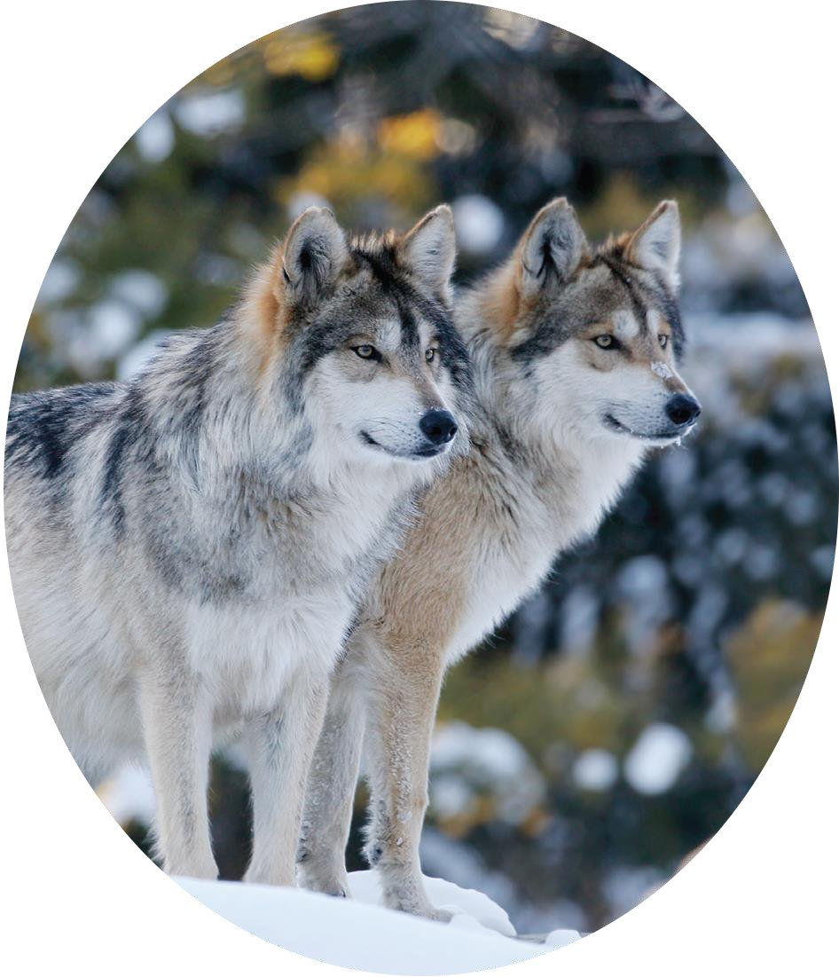 Oval_two_adult_wolves_whitebgrd_pc_istock