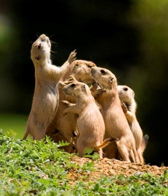Five prairie dogs pc Sandy Nervig