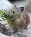 Pika Oregon pc Dept of Fish and Wildlife