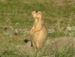 prairie dog pc Ramona Gaylord