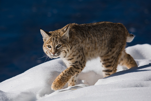 Bobcat by Sam Parks