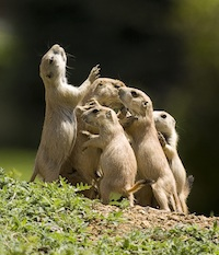 Black tailed prairie dog small pc Sandy Nervig