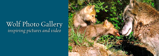 Mexican wolves pc Endangered Wolf Center