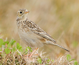 Sprague's pipit pc Greg Lavaty
