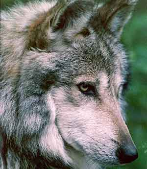 Time-to-release-more-Mexican-gray-wolves-pc-U.S.-Fish-and-Wi
