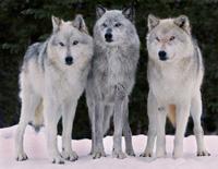 Wolf Trio by Ray Rafiti