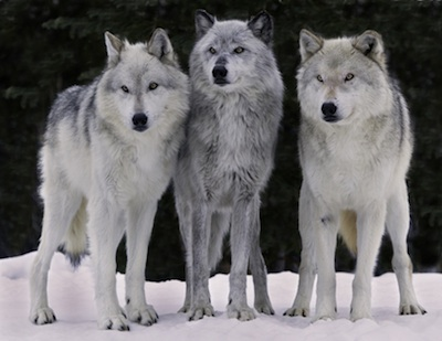 Captive wolf trio pc Ray Rafiti