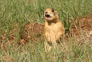 Utah-Prairie-Dog-PC-Rich-Reading