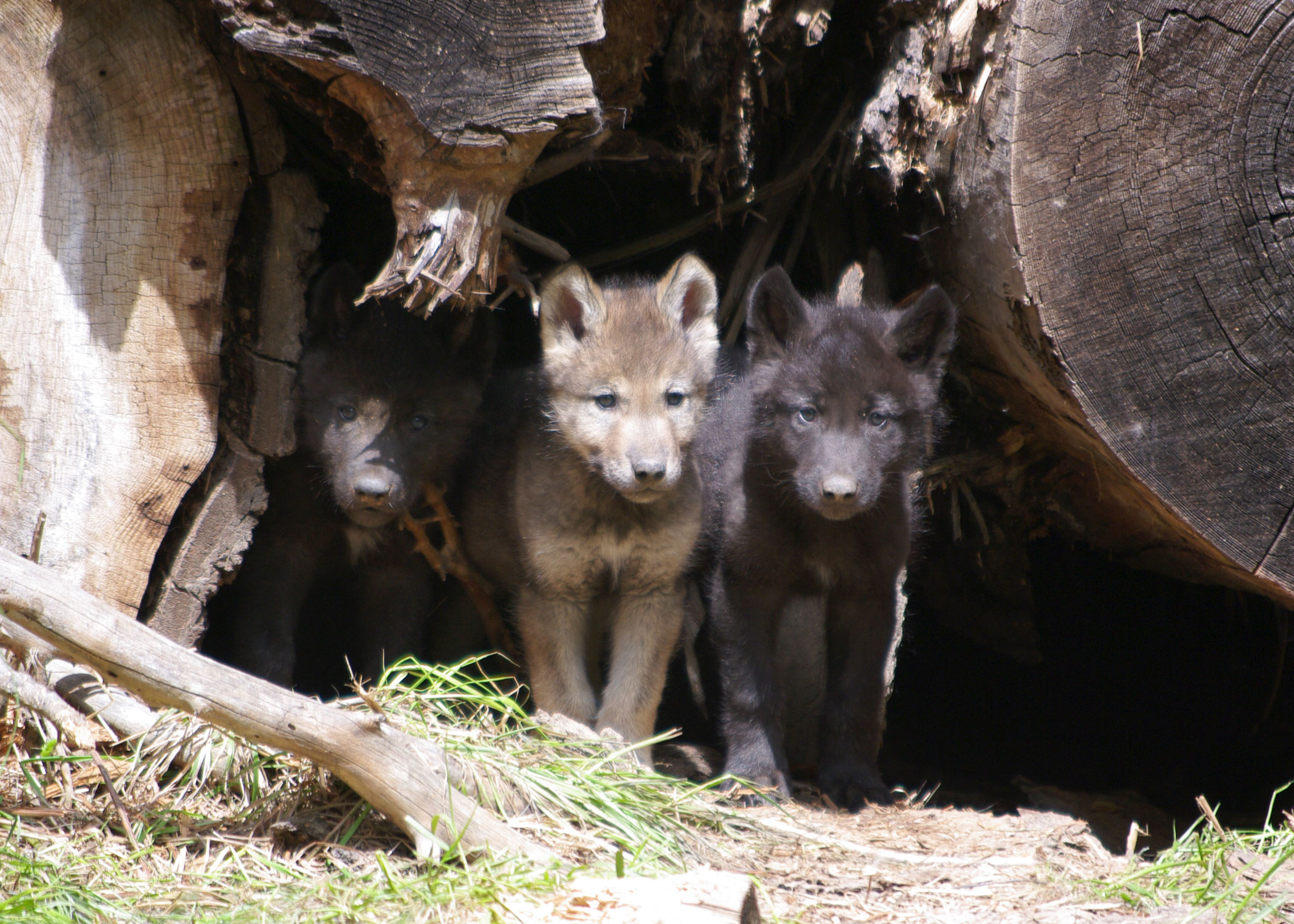 Wolf puppies Oregon pc OR Dept Fish and Wildlife