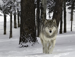 Gray wolf pc Ray Rafiti
