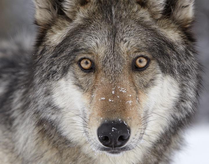 wolf face pc Ray Rafiti
