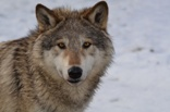 Wolf_thumbprint_pc_Fotolia.jpg