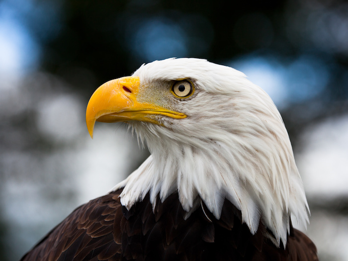 bald eagle pc adobe stock