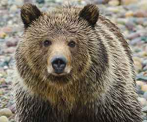 battle to restore grizzly protections pc sam parks-web