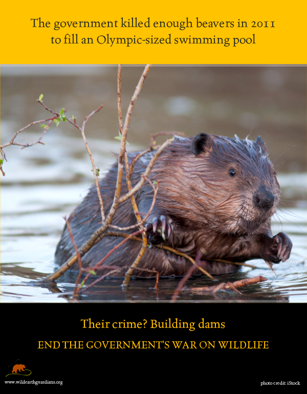 issues faced by beavers