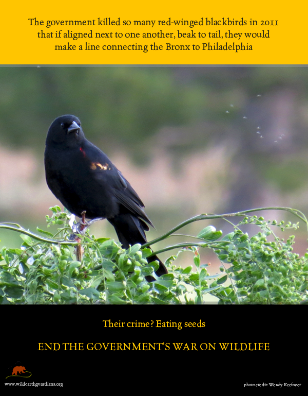 issues faced by Black birds