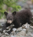 Black bear cub cropped pc Sam Parks