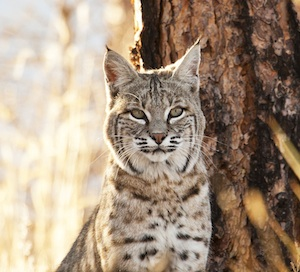 Bobcat Sandy Nervig small