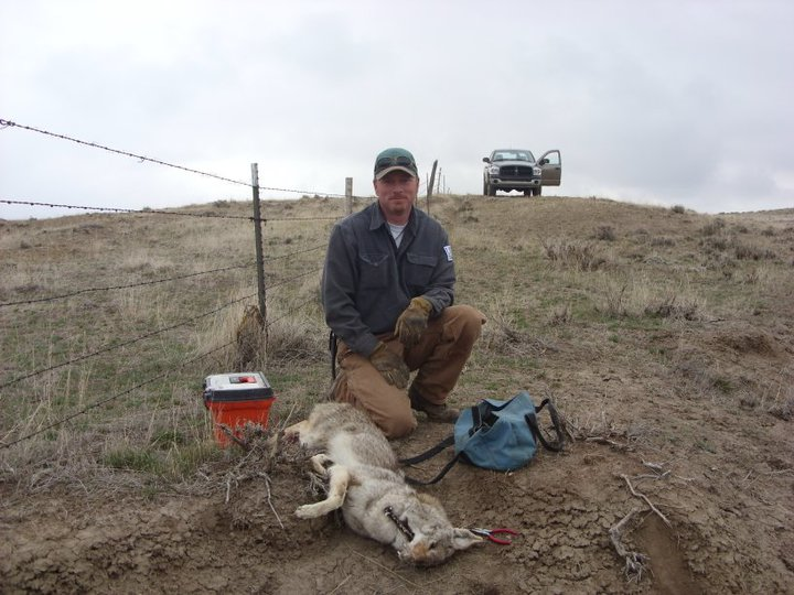 Coyote Trap Image 1 pc Jamie Olson_Wildlife Services