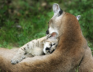 cougar and kitten pc Richard Badger