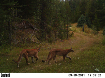 cougars on reclaimed road