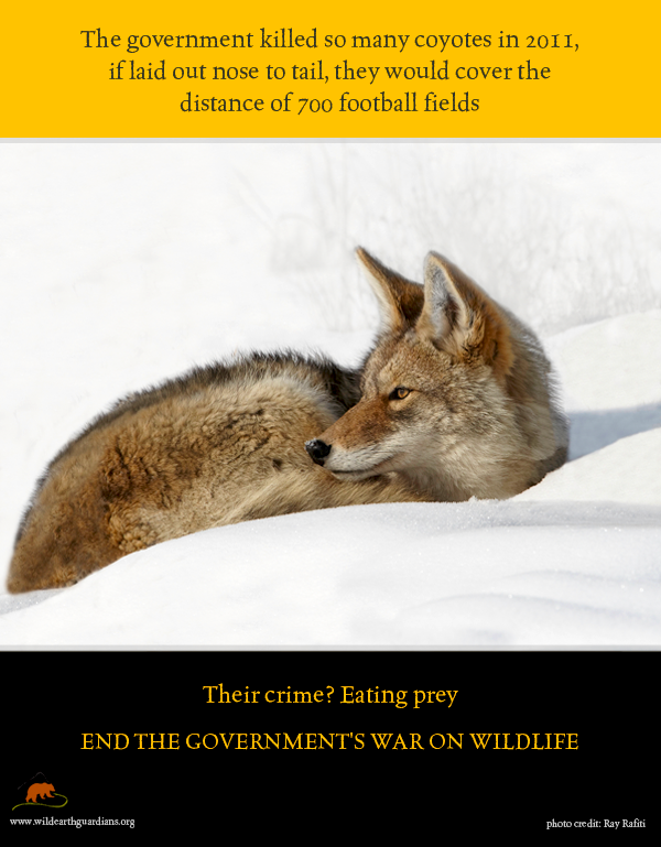 issues faced by coyotes