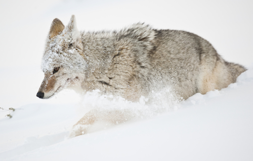 coyote in snow pc Sam Parks
