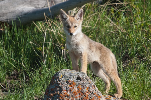 Coyote pup Sam Parks