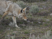 coyote side view pc WildEarth Guardians