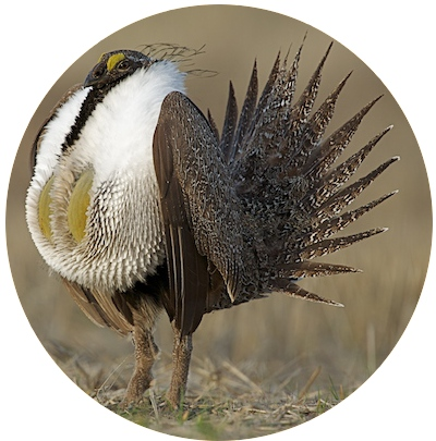 greater_sage_grouse_2_circle `pc_Tom_Reichner_shutterstock