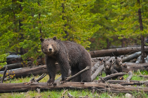 Grizzly and cubs on log pc Sam Parks