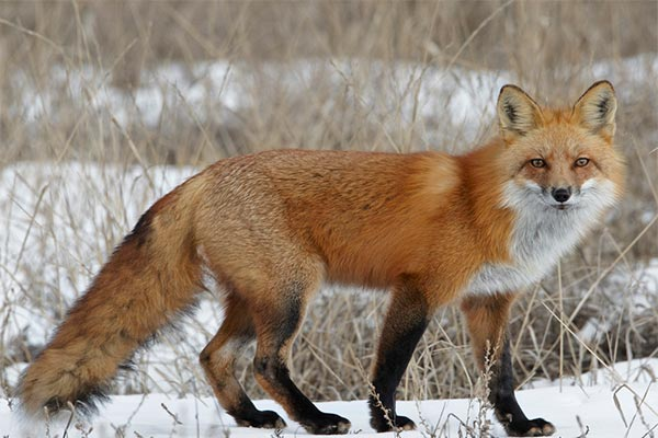 red-fox-ray-rafiti.jpg