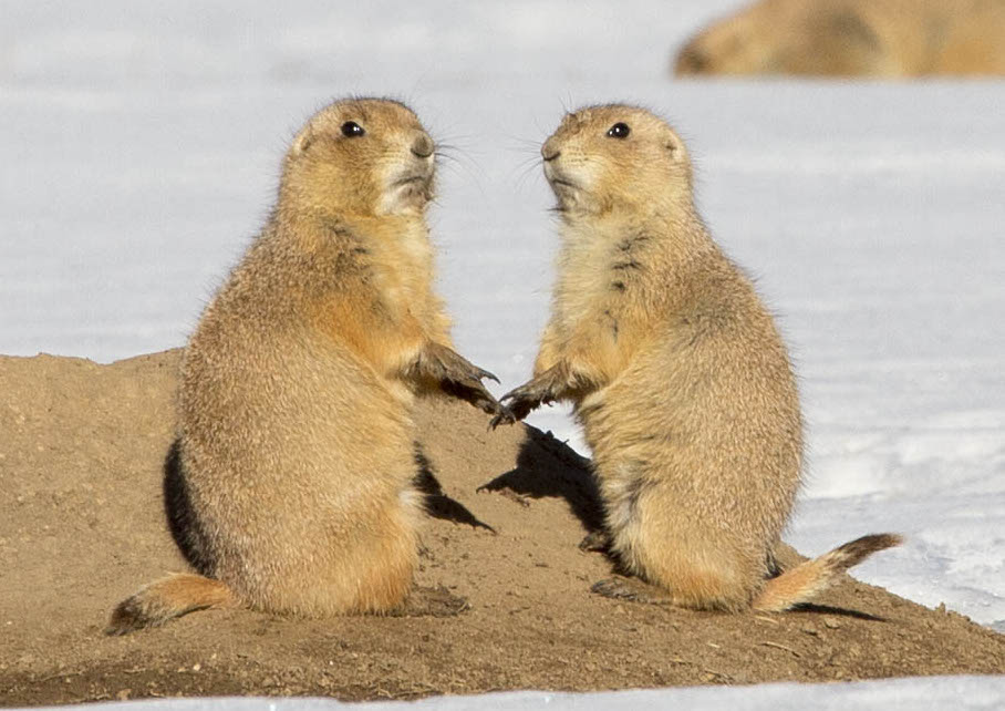 Black tail prairie dogs pc Sandy Nervig