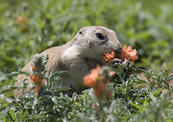 prairie dog with mallow pc Sandy Nervig