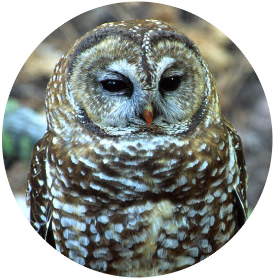spotted owl circle pc public domain