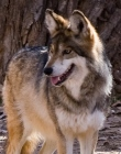 supporters_ABQ_Zoo_Wolf_credit_Evalyn_Bemis