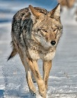 supporters_Chatfield_coyote_pc_Dick_Vogel