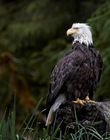supporters_Khutz_Bald_Eagle_pc_Ray_Rafiti