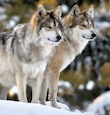 supporters_Mex_wolves_pc_Steve_Geer_istock