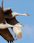 supporters_Sandhill_Cranes__K._Duckert