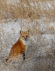 supporters_winter_fox_pc_Ray_Rafiti