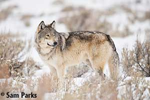Wolf in winter pc Sam Parks